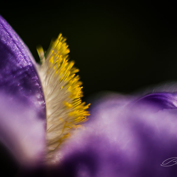 A delicate detail of an iris.