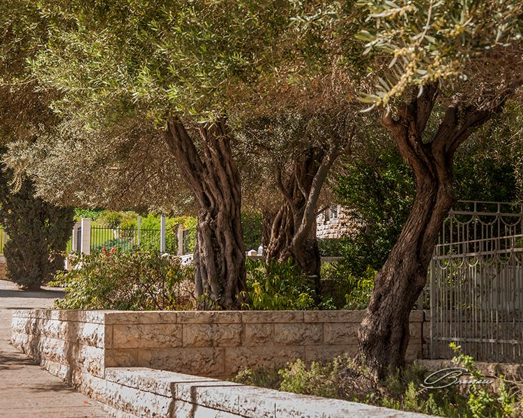 Old Olive Trees, Haifa, Israel
