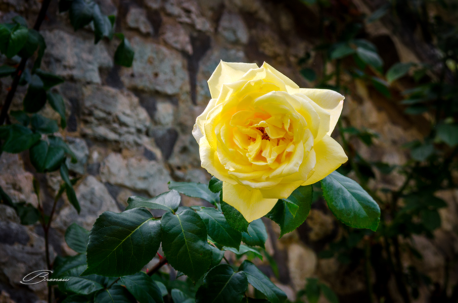 Rose in Issigeac, France.